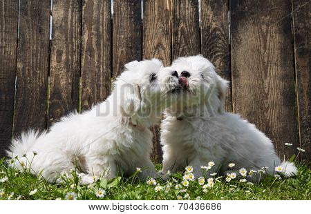 Big Love: Two Baby Dogs - Coton De Tulear Puppies - Kissing.