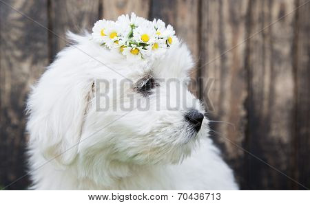 Baby Dog: Coton De Tulear Puppy For Animal Concepts.
