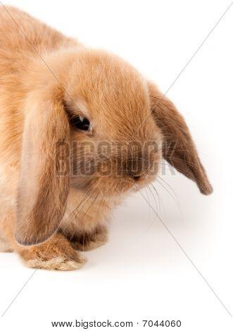 Lop-rabbit, Miniature Lop (oryctolagus Cuniculus)