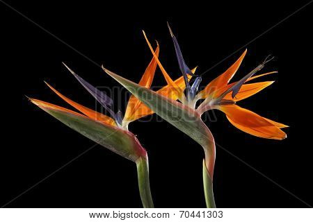 Two Strelitzia flowers on black background