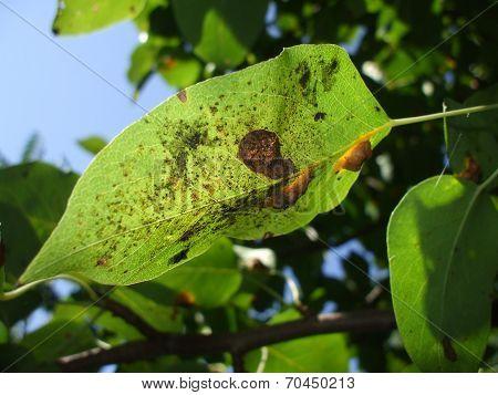 Plant pest