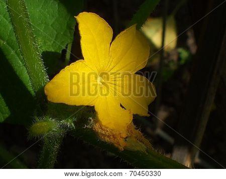 Cucumber flower in shadow.