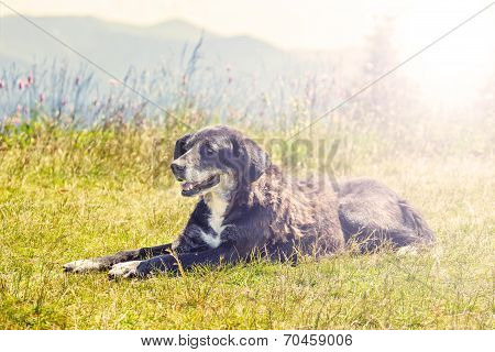 Dog Lying On Grass