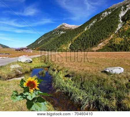 At a stream the sunflower grew. Hillsides picturesque alpine valley covered with thick coniferous forest. Quick stream of clear water flowing in the middle of the canyon.