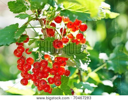 Cluster Of Red Currant Berries Close Up