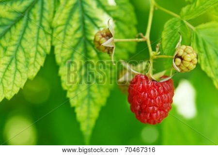 One Ripe Red Raspberry In Green Leaves