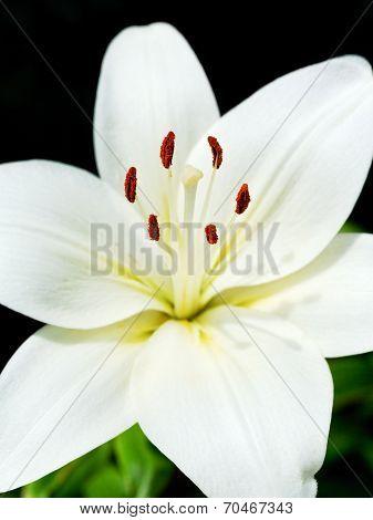 White Flower Of Lilium Candidum (madonna Lily)