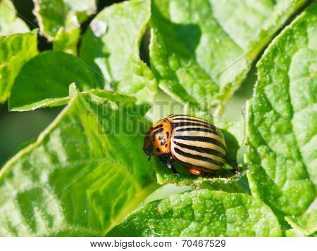 Ten-lined Potato Beetle In Potatoes Leaves