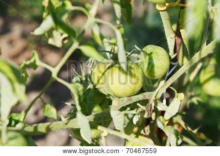 Green Tomato Plant In Garden