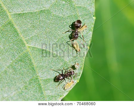 Two Ants Tending Few Aphids On Leaf