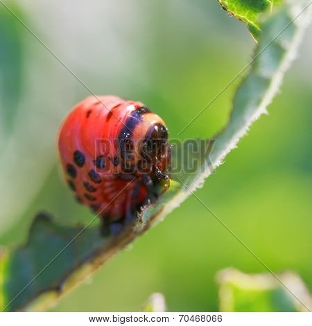 Caterpillar Of Potato Beetle Eats Potatoes