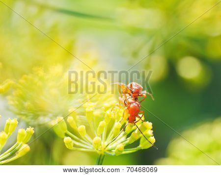 Two Soldier Beetles In Garden Grass
