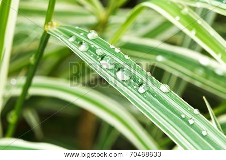 Rain Drops On Green Leaves Of Carex Close Up