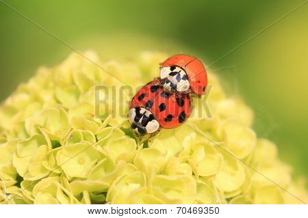 Two Ladybugs, Mating On A Hydrangea Flower