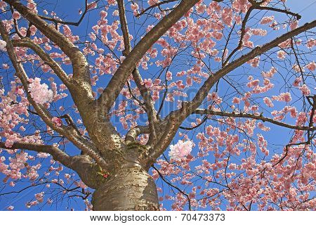 Flourishing Cherry Tree Full Bloom