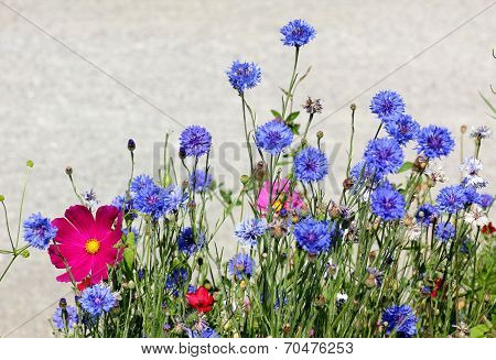 Cornflowers And Cosmea