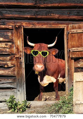 Funny Cow With Eye Glasses In A Cow Barn Door