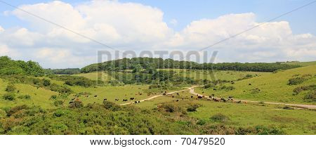 Cattle Herd In The Purbeck Hills