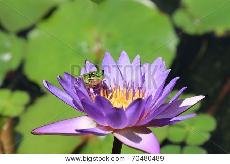 Water Lily flower and frog