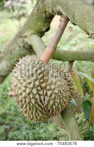 Fresh Durian Fruit On Trees.