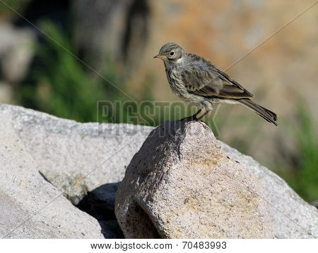 American Pipit on a Rock