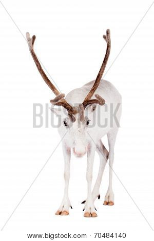 Reindeer or caribou, on the white background