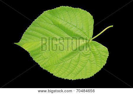 Linden Leaf On Black Background