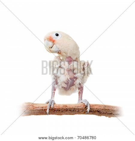 Tanimbar corella or Goffin's cockatoo on white