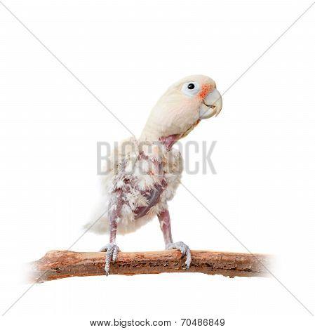 Tanimbar corella or Goffin's cockatoo on white