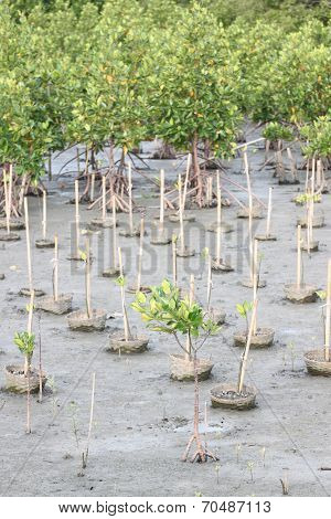 Propagated For Mangrove Trees.