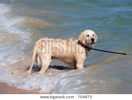 Wet Golden Retriever Or Labrador Dog Playing In The Sea