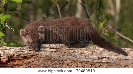 Young Fisher (martes Pennanti) Lies Atop Log