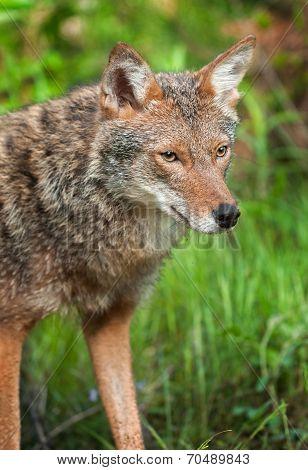 Coyote (canis Latrans) Head