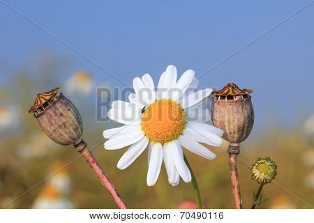 One Marguerite And Poppy Seed Capsules