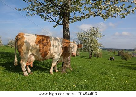 German Dairy Cow And Blooming Cherry Tree