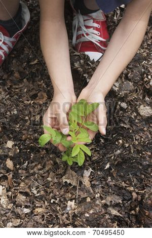 closeup of hands planting black locust tree seedling