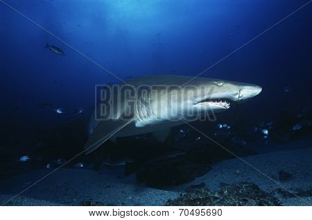 Aliwal Shoal, Indian Ocean, South Africa, sand tiger shark (Carcharias taurus)