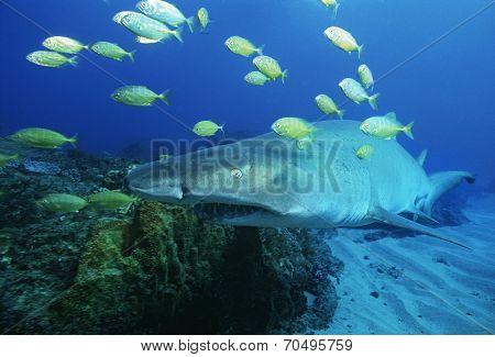 Sodwana Bay, Indian Ocean, South Africa, Sand tiger shark (carcharias taurus) and golden trevally (gnathanodon speciosus)