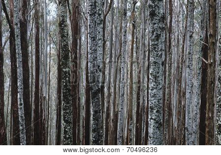 Trunks of Eucalypt Mountain Ash trees