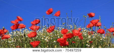 Bright Red Poppies And Marguerites, Against Blue Sky