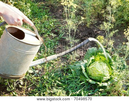 Hand With Handshower Watering Kale In Garden