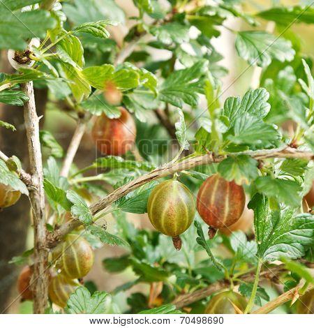 Ripe Gooseberry Berries On Green Bush