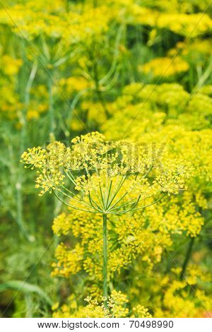 Yellow Flowering Dill Herbs