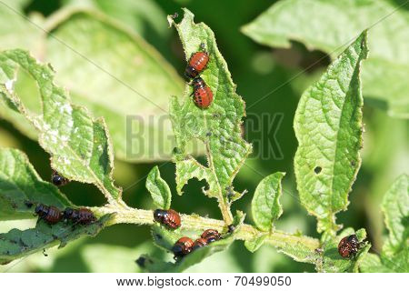 Potato Bug Larva In Potatoes Leaves