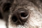 picture of nostril  - Close up of the cold wet nose of a dog showing the nostrils and texture of a loyal loving canine companion and pet - JPG