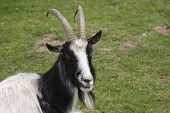 picture of billy goat  - Head of a Bagot goat in a field looking at camera - JPG
