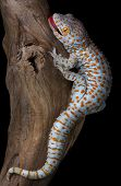 stock photo of tokay gecko  - A tokay gecko is opening his mouth in a threatening gesture - JPG