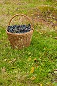 stock photo of merlot  - Merlot Grapes in basket on autumn grass - JPG