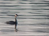 picture of grebe  - Great crested grebe floating in the water - JPG