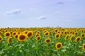 stock photo of sunflower  - bright field of young sunflowers - JPG